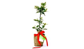 Give the ultimate in green gifts - a beautiful living tree!