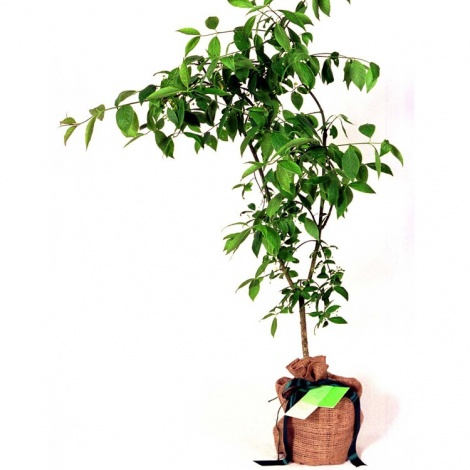 Spindle Tree Gift