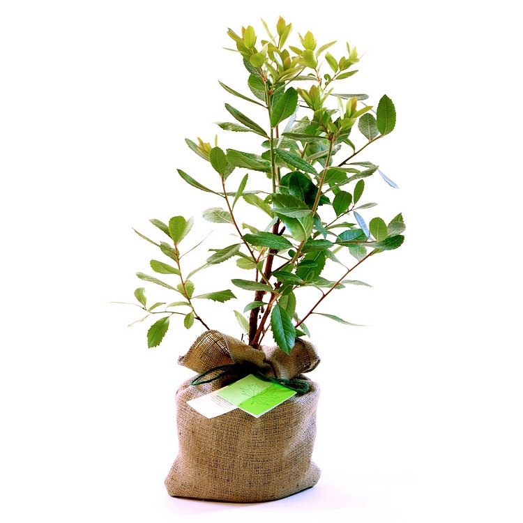 Trees direct send a tree as a present eco gifts strawberry tree gift negle Choice Image
