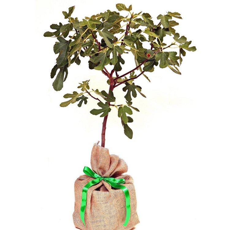 Fig tree gift by trees direct eco gifts fig tree gift negle Choice Image