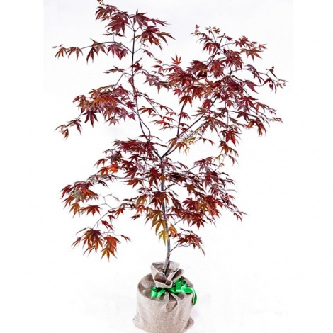 Japanese Maple Tree Gift