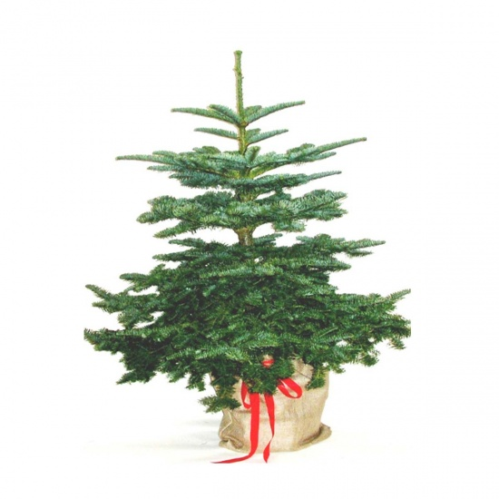 Christmas Nordman Fir Tree